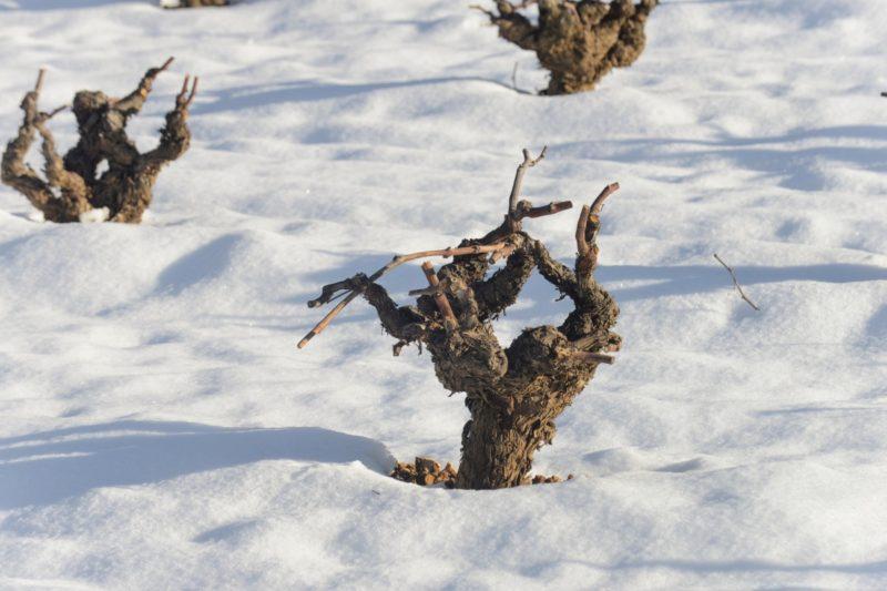 La nieve sumerge a la viña en un dulce y reparador sueño