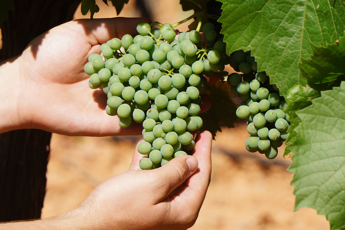 El viñedo está precioso esperando la vendimia